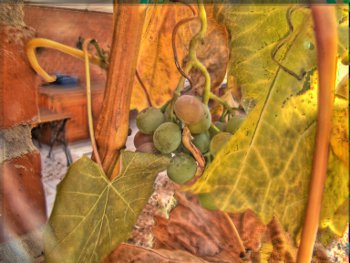 autumngrapes